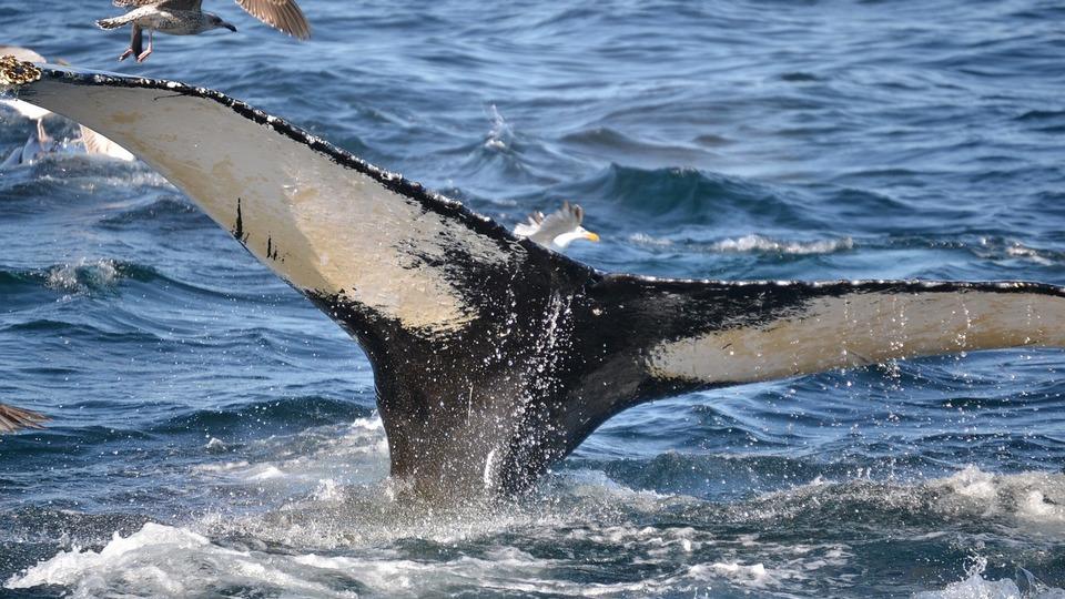 De Zeeuwse walvisvaart